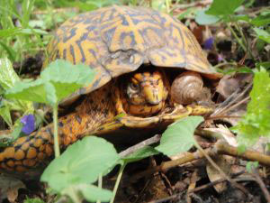 snail eating from wound where box turtle is missing a limb